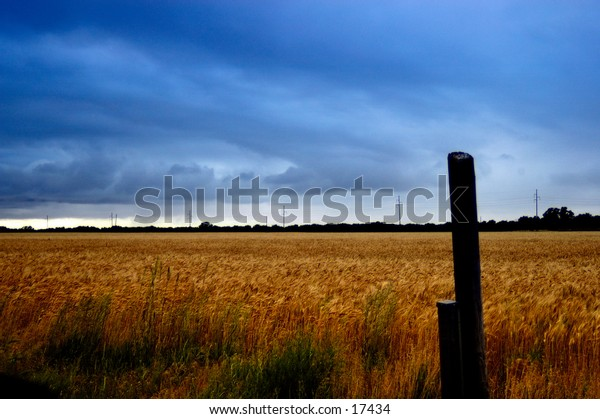 A field of wheat after a storm.