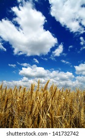 A field of wheat against a blue cloudy sky