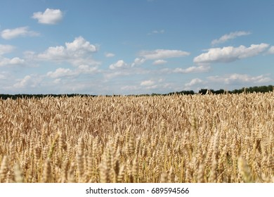 field of wheat , background with spicas
