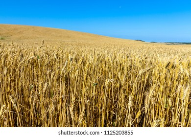 Field of wheat with a beautiful blue sky on Puerto Real, Cadiz, Spain