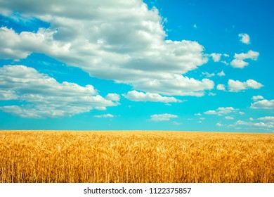 field of wheat and clouds in the blue sky