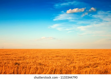 field of wheat and clouds in blue sky