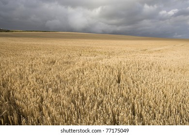 A field of wheat during a dark cloudy day with sunshine in Cork County, Ireland.