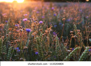 Field of wheat full of beautiful blue buds of wild cornflowers in a golden evening sunshine. Summer nature theme