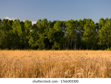 Field of wheat. Green trees and sky in background