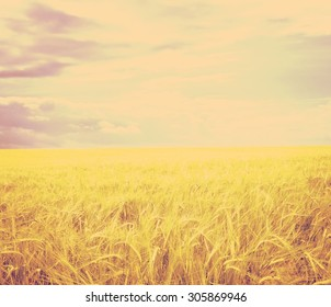 Field with wheat on background with sky retro