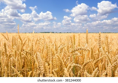 Field wheat in period harvest on background sky
