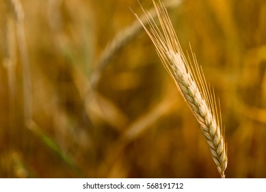 Field of wheat. Plant, nature, rye. Crop on farm. Stem and ears with seed for cereal bread. Agriculture harvest growth. Yellow golden rural summer landscape. Ripe food.