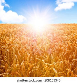 Field of wheat ready to be harvested with beautiful sunset on blue sky background