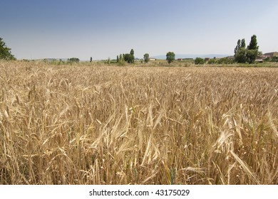 field of wheat ready to harvest with the sky as the background