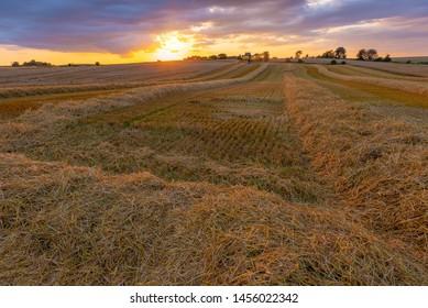 A field of wheat ready for harvesting, Jutland, Denmark