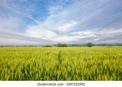 Field wheat field wheat sky