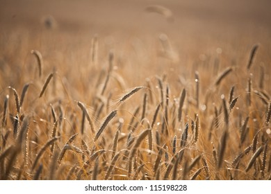 Field of wheat in the summer in denmark