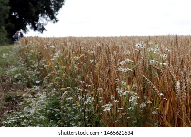 Field of wheat in summer with scented mayweed on edge of field