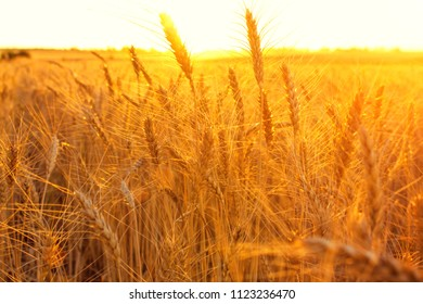 a field of wheat in the sunset light