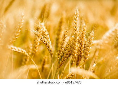 Field of wheat in the time of crop. Background