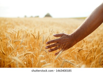 A Field Of Wheat Touched By The Hand Of Spikes In The Sunset Light. Wheat Sprouts In A Farmer's Hand.Farmer Walking Through Field Checking Wheat Crop.