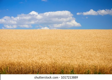 Field of wheat under blue sky with light clouds