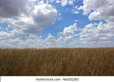 Field of wheat under blue sky and white clouds