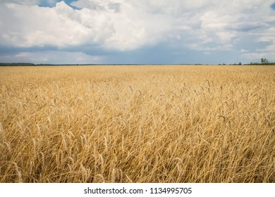 Field of wheat under a stormy sky