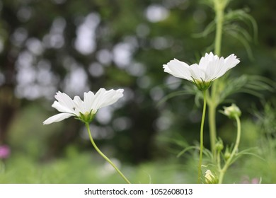 Cosmo flower images stock photos vectors shutterstock a field of white cosmo flowers of the day blooming against the sun with green forest mightylinksfo
