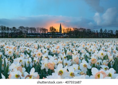 A field of white daffodils at the edge of Sassenheim in Holland.
