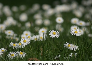 field with white daisies in spring