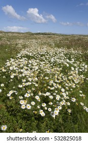 Field of white daisies under a blue sky, on the island of Schiermonnikoog, Netherlands