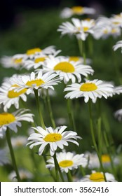 Field of white daisy (Bellis perennis) flowers against a green background