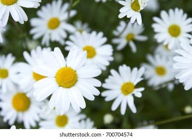field of white daisy flowers