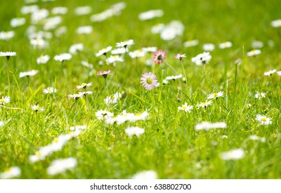 Field of white daisy flowers with a pink one standing out of the crowd