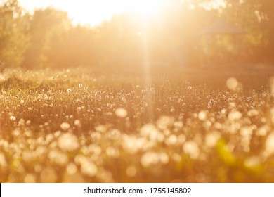 field with white dandelions at sunset. Field with white dandelions at golden hour