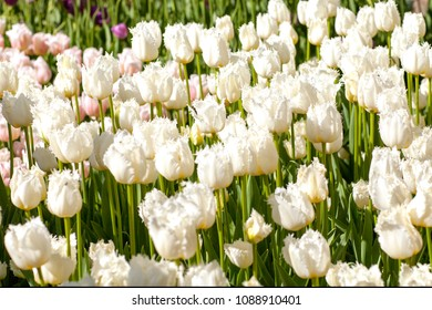 Field with white Dutch tulips in the Keukenhof, Lisse