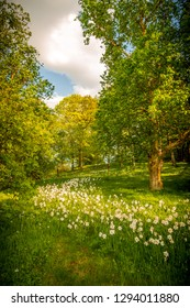 Field of white easter lilies in sunlight. Gothenburg botanical garden. Springtime