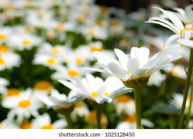 Field of white flowers shot with shallow depth of field.