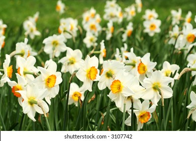 A field of white and orange daffodils