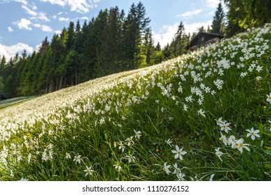 Field with white poet's narcissus and green juicy grass on a spring sunny day.Blaa-Alm, Styria, Austria.