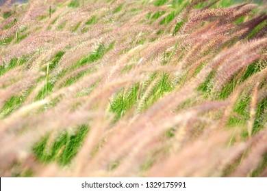field of white reeds flower grass background.