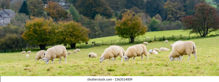 Field of white sheep in the highlands in Sky,Mountain range at sunset,Beautiful mountains landscape view,England , United of kingdom,UK