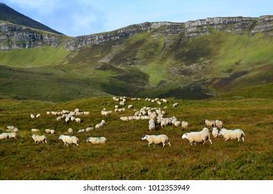 Field of white sheep in the higlands in Skye