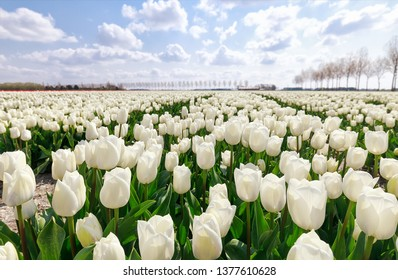 field with white tulips in Holland and blue sky