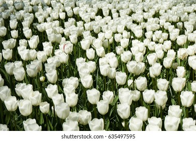 Field of white tulps