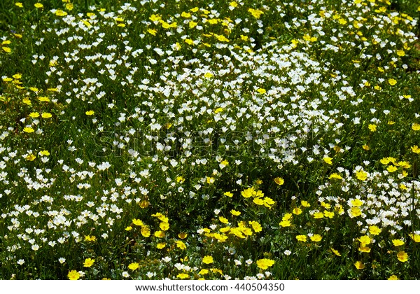 field white and yellow florets in the spring top view