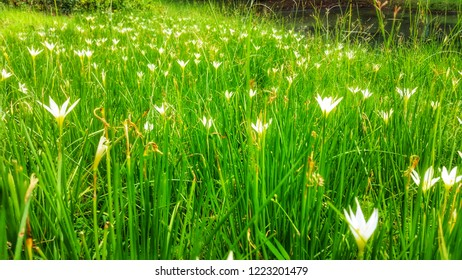 Field of white zephyranthes candida or white windflower looks like dream on defocused.