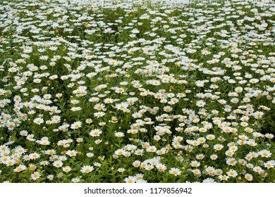Field of wild chamomile flowers.