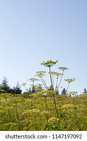 Field of wild cow parsley against clear blue sky, Zabljak, Montenegro, 2018