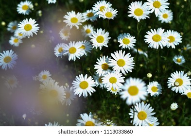 field of wild daisies chamomile in countryside