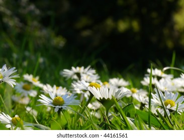 field of wild daisies, low perspective suitable for background