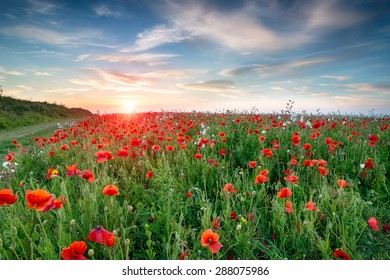 A field of wild flowers and bright red Poppies at Crantock near Newquay in Cornwall