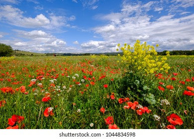 Field of wild flowers - poppies, daisies, rapeseed in spring. Blue sky with beautiful clouds. Provence, France.